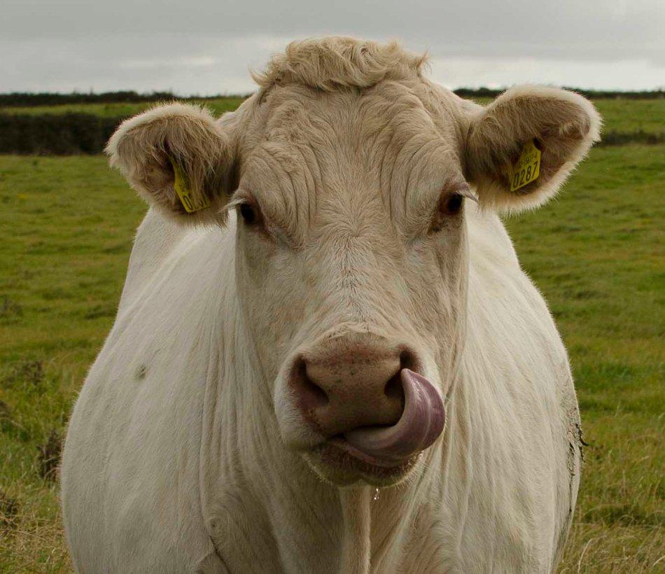 Cow 287