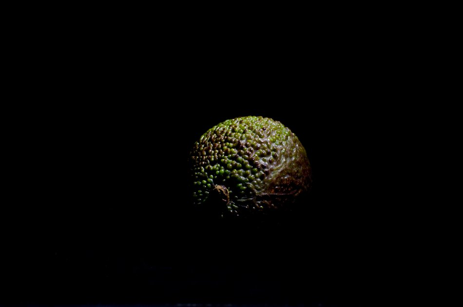 #22 - Alligator Pear (22-01-16)