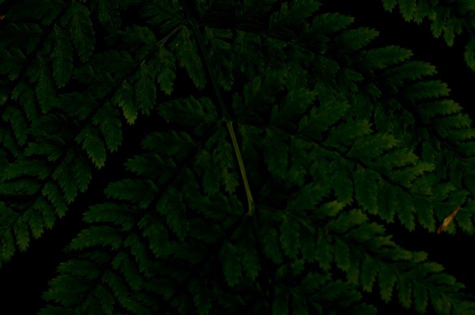 #161 - Dark fern (09-06-16)